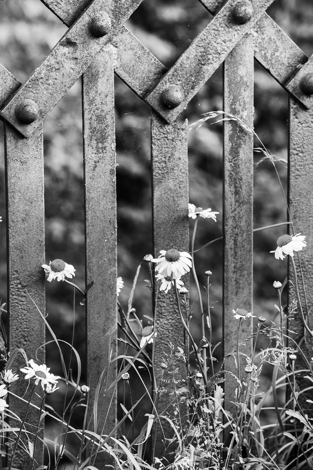 Ox-eye daisies (Leucanthemum vulgareand railway fence