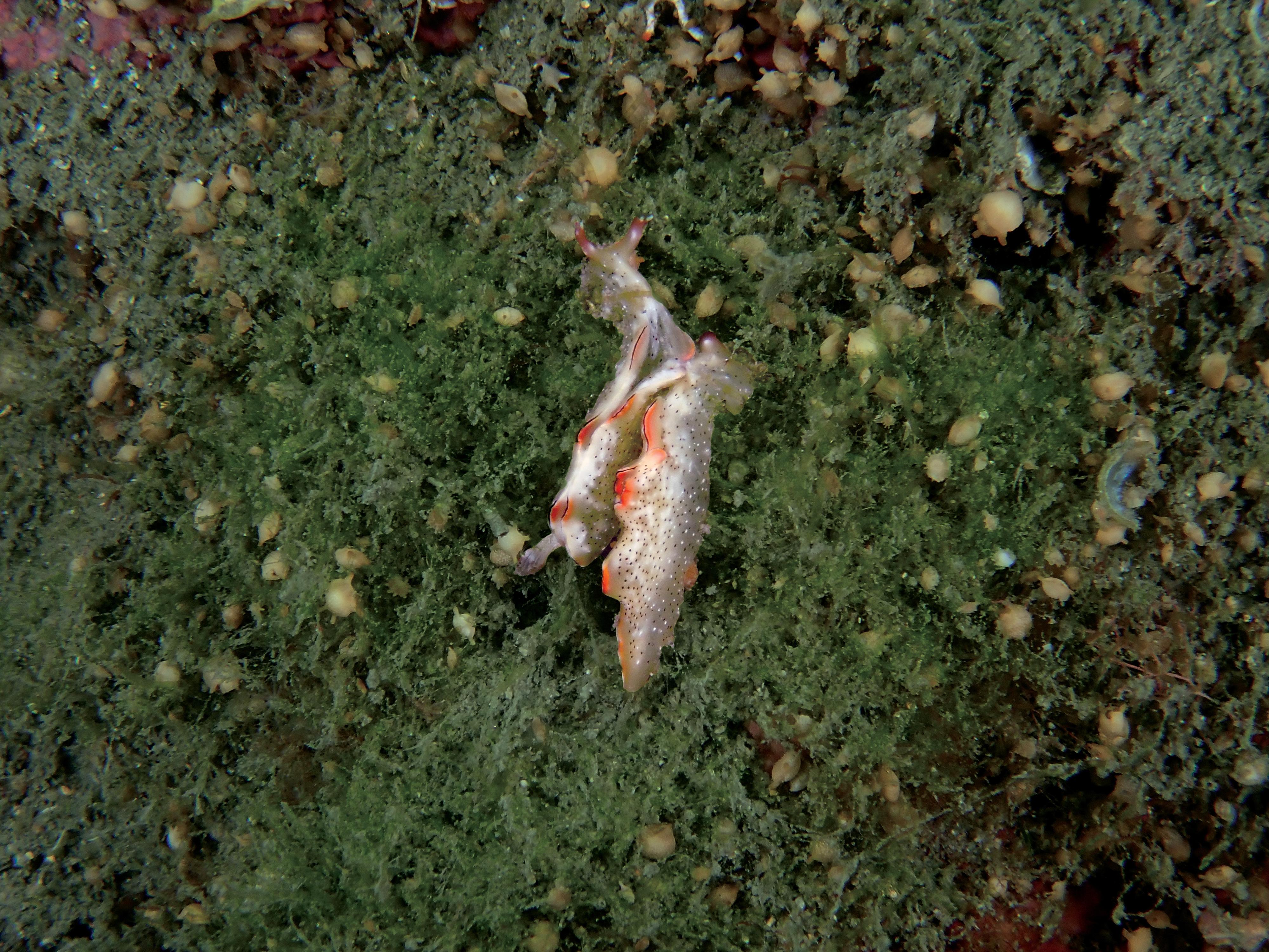 Philip Wong - 西吉城堡 - 囊舌目海天牛海蛞蝓交配圖