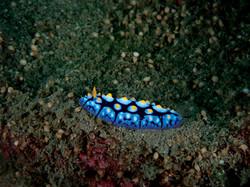 Philip Wong - 西吉城堡 - 海牛亞目月藍葉海蛞蝓