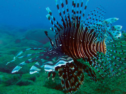 Philip Wong - 鋤頭魚海蝕洞 - 雌性獅子魚