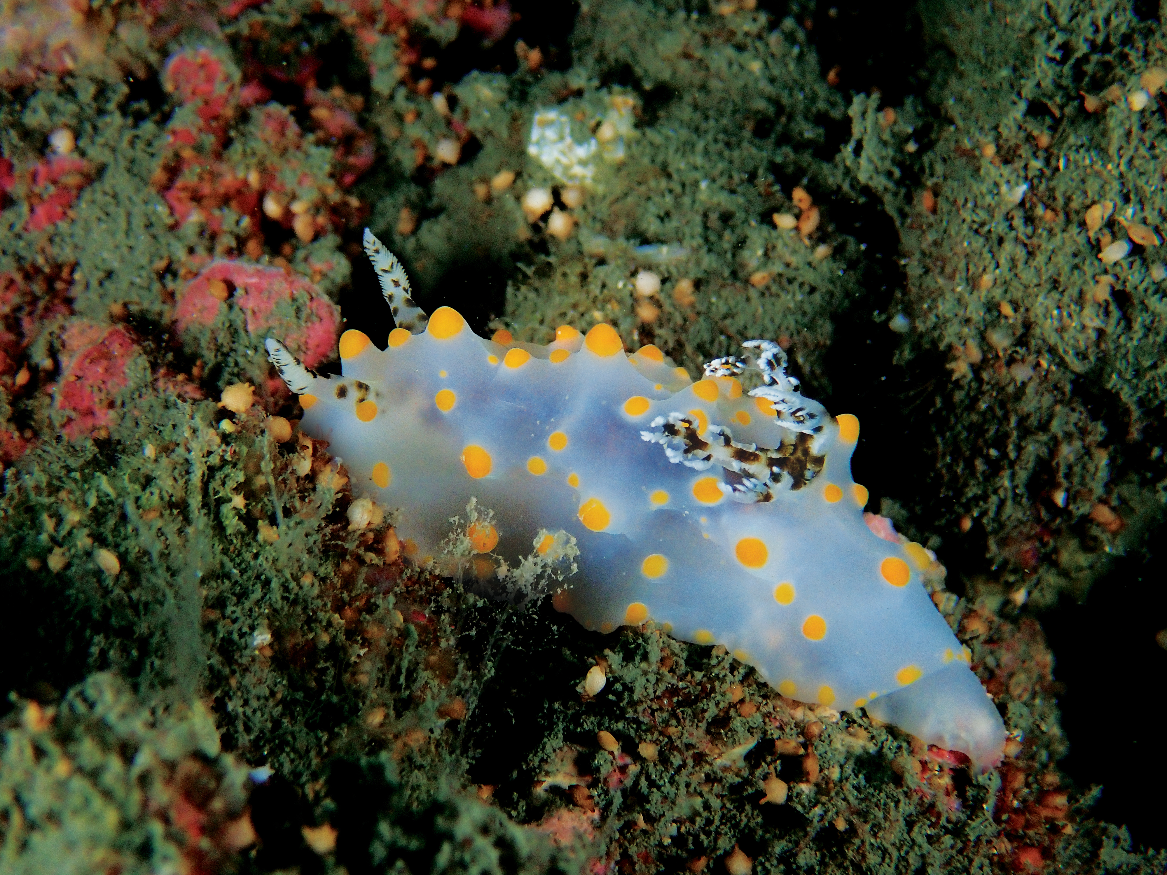 Philip Wong - 西吉城堡 - 卡爾森盤海蛞蝓