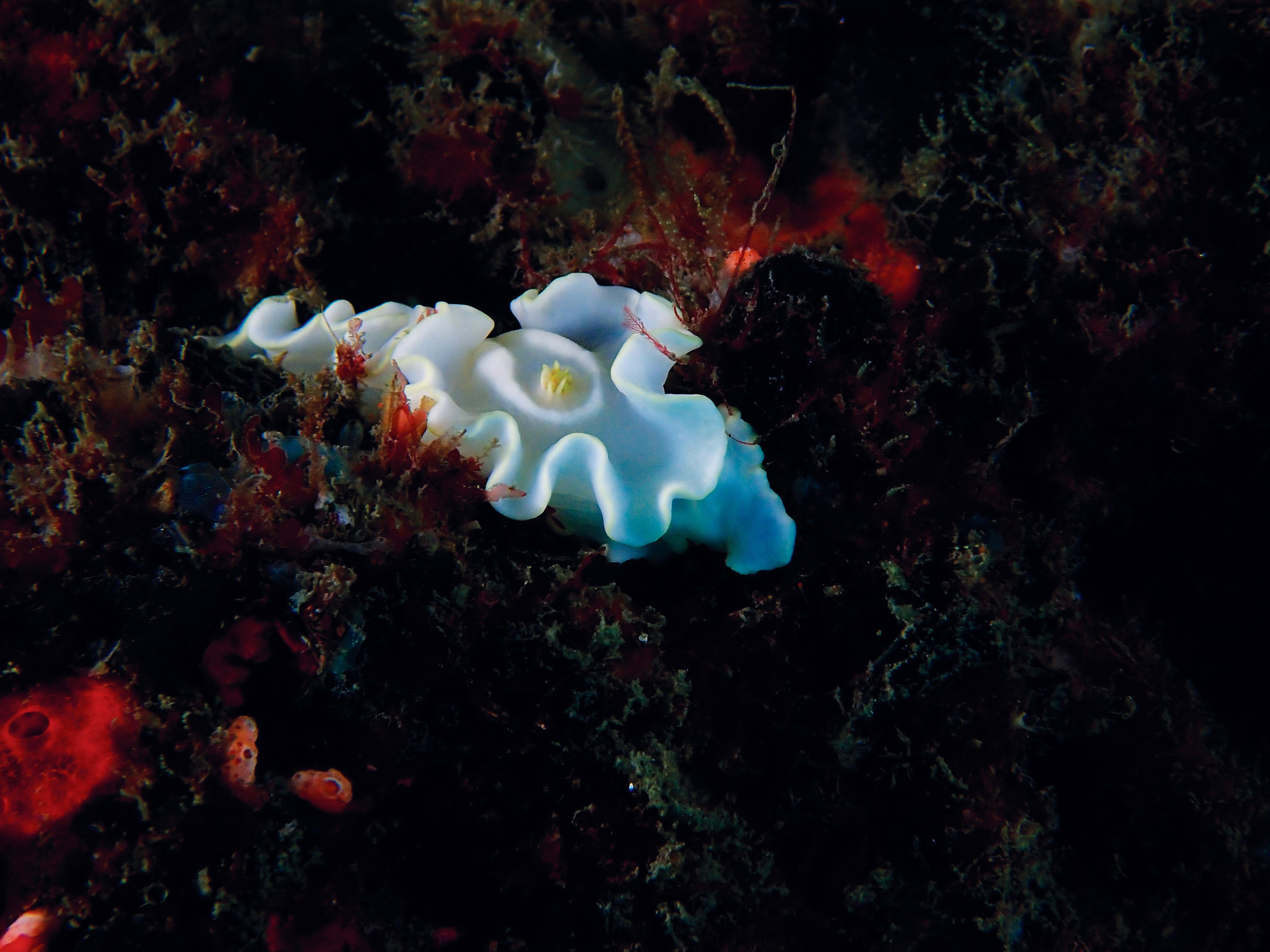 Philip Wong - 鋤頭魚海蝕洞外圍 - 蒼白多彩海蛞蝓