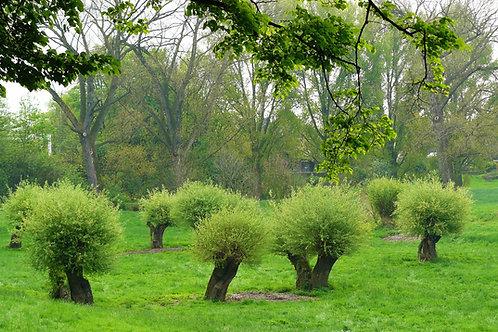 白柳樹皮-White willow bark