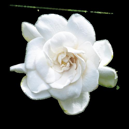 山茶花-Camellia