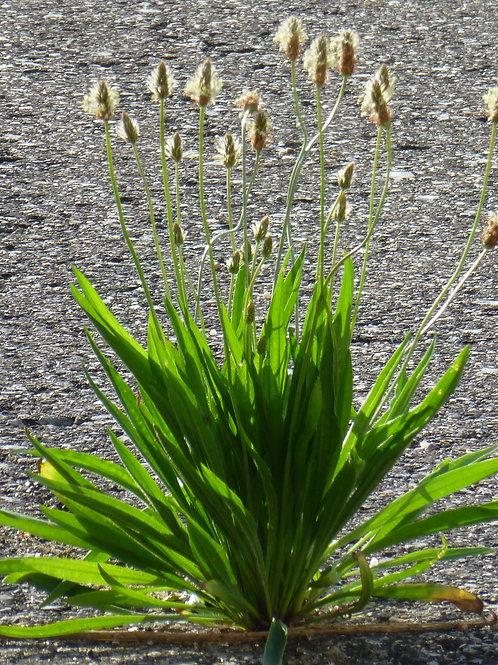 車前草-Plantain