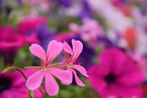 天竺葵-Geranium