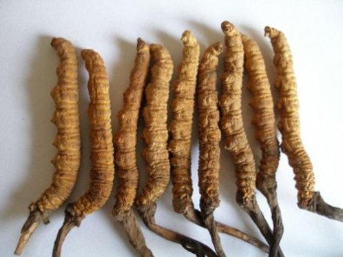 冬蟲夏草-Cordyceps sinensis