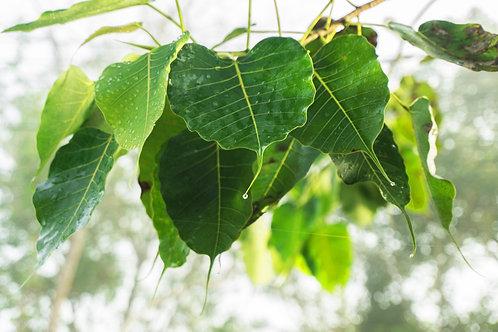 菩提樹-Bodhi tree