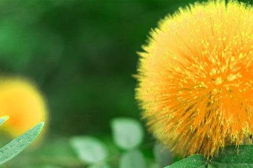 非洲金合歡種子萃取