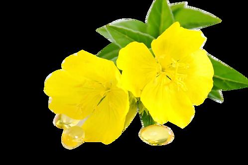 月見草-Evening primrose
