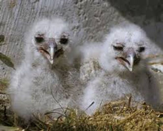 barred owl chicks_edited.jpg