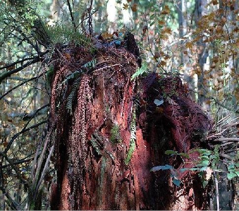 laminated root rot.jpg