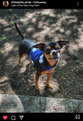 Blue Hawaiian YAP Wrap Engineered Harness for Dogs by YAP USA
