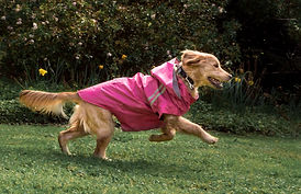 Golden Retriever in Pink Tru Fit Raincoat