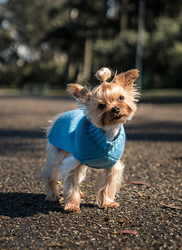 A cute small dog is wearing a YAP Cashmere Blend Sweater. The small dog is pictured in a park in autumn.