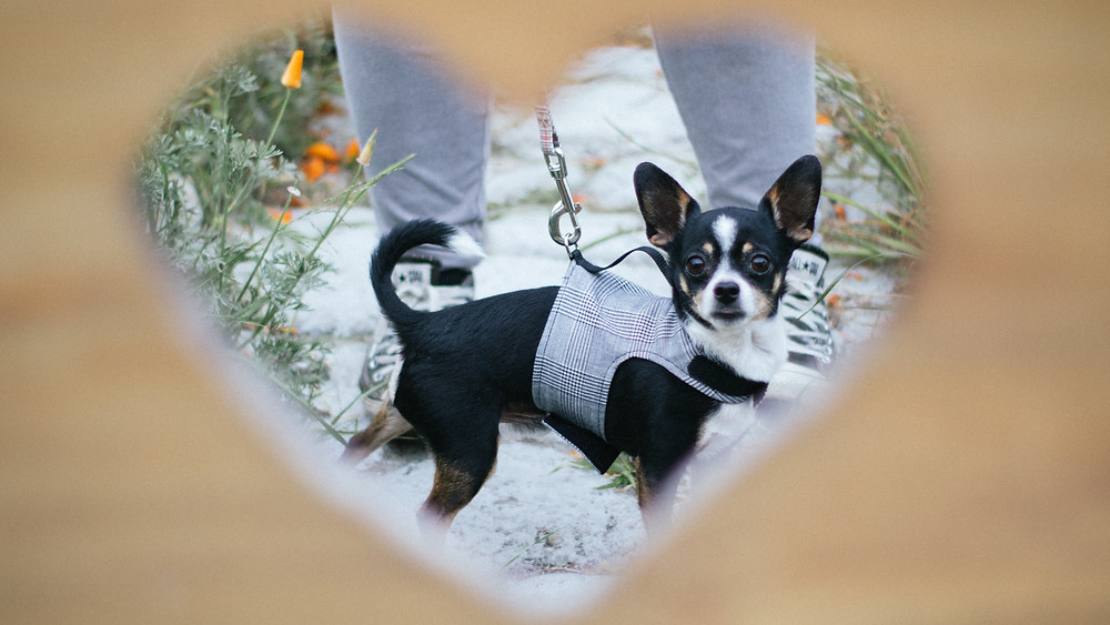 Chukis the small black chihuahua-doberman mix with white and brown features is wearing a grey plaid YAP classic wrap. His photo is framed by a heart.