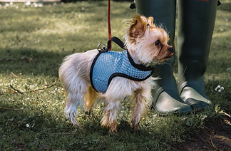 Yorkie wearing YAP Performance Wrap Dog Harness Right Anterior Lateral View