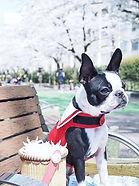 Boston Terrier wearing Red Nautical Wrap engineered dog harness