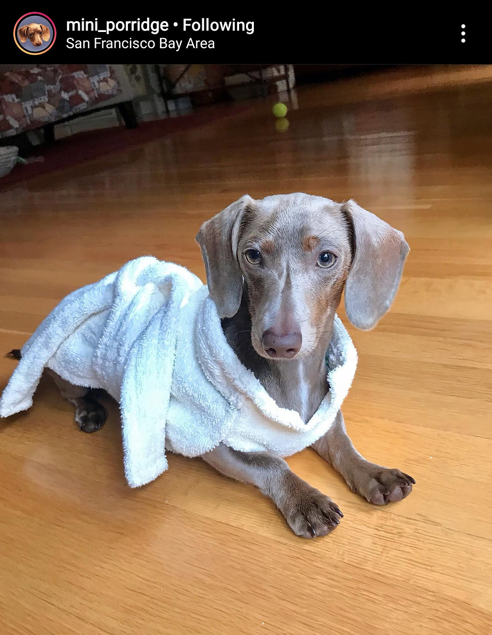 Miss Porridge is a mini doxie dog. She has a long body and short legs. She is in our ivory bathrobe lounging on wood flooring.