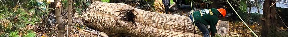 Narrow Strip Big Tree Cut.png