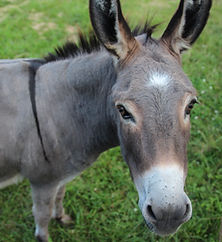 Our Friendly Donkey Waiting to Greet You at the Petting Farm