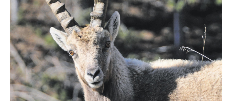 Steinbock – Tier und Sternzeichen