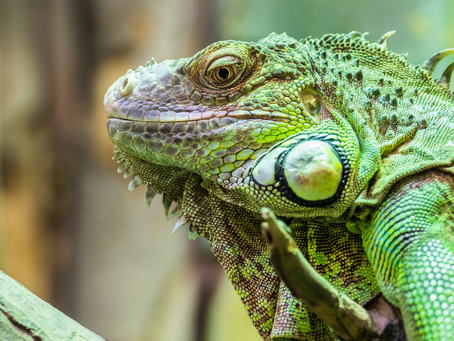 Fact Check: Do Iguanas Freeze and Fall From Trees? Yes, Sort Of.