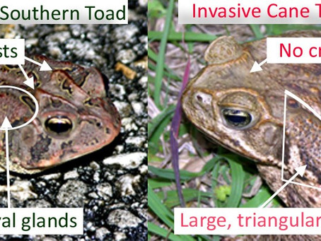 How to Identify and Humanely Euthanize Invasive Cane Toads