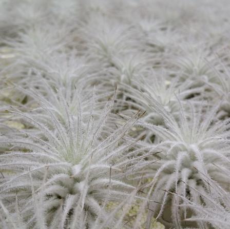 K139a Tectorum snowy gallery.jpg