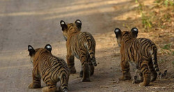 The Cutest Stripes in Ranthambhore