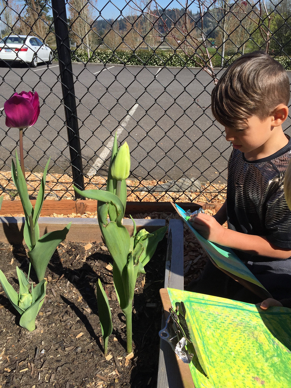 They did observational drawing of tulips on our playground.