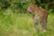 1200px-Leopard_Male_Nagarhole.jpg