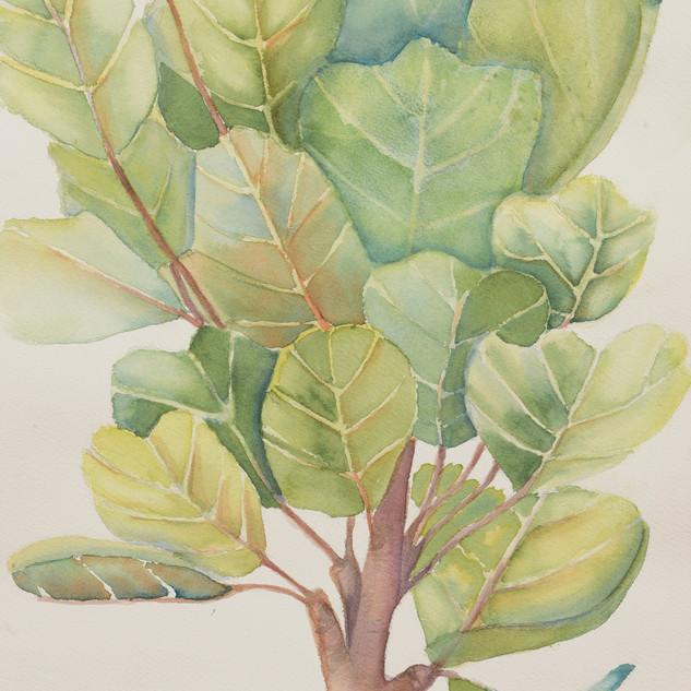 """Fiddle Leaf Fig"""