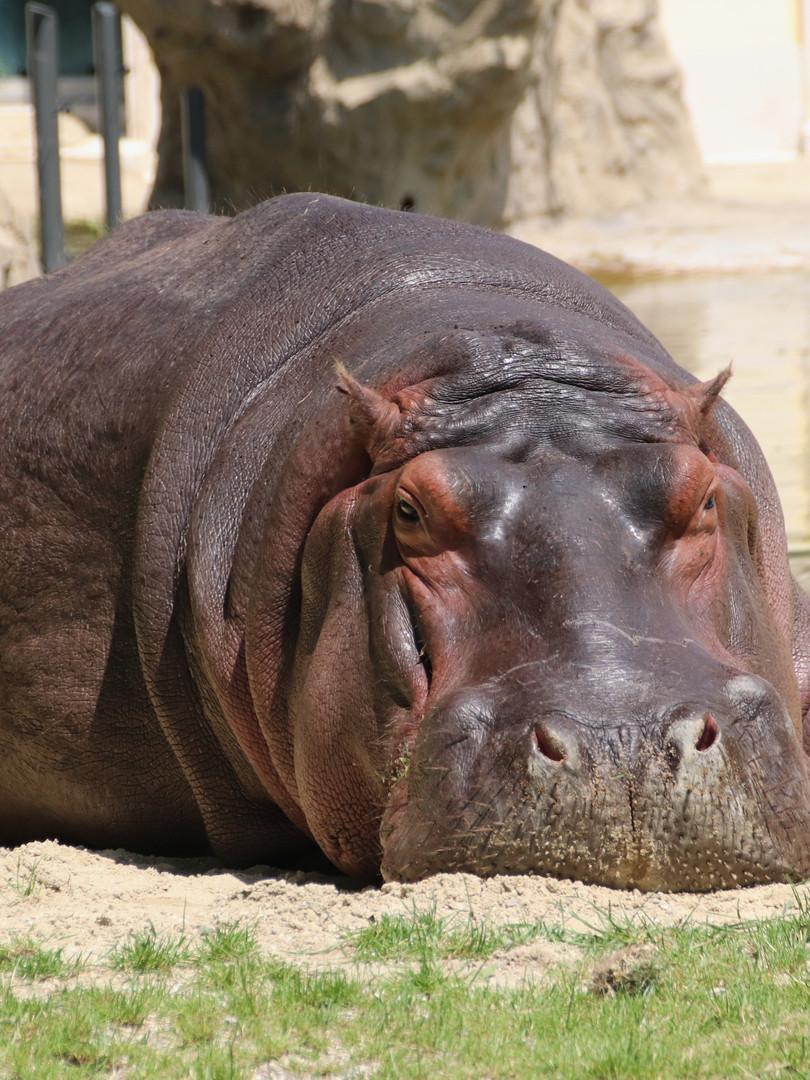 St lucia lodge hippo