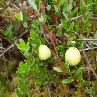 Cranberry-not-yet-ripe2.jpg