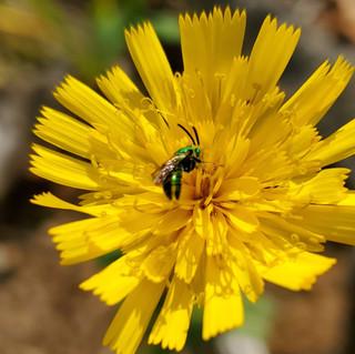 Green Sweat Bee on Hawkweed.jpg
