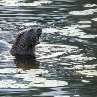 LLCC Otter 1.jpg
