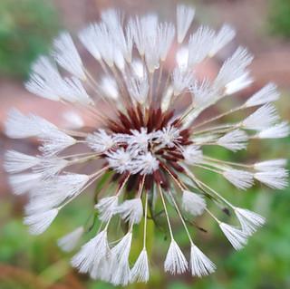 Foggy morning dandelion.jpg