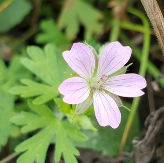Wild Geranium.JPEG