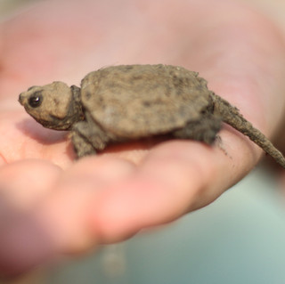 Snapping-Turtle-Baby.jpg