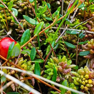 Bog-Cranberry-3.jpg