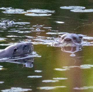 LLCC Otter 3.jpg