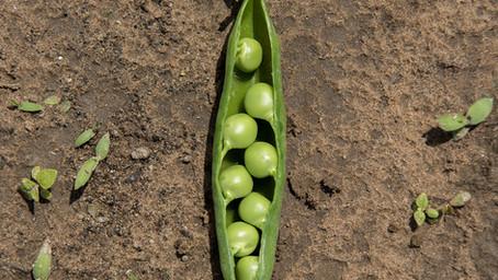 Fresh English Peas Recipe