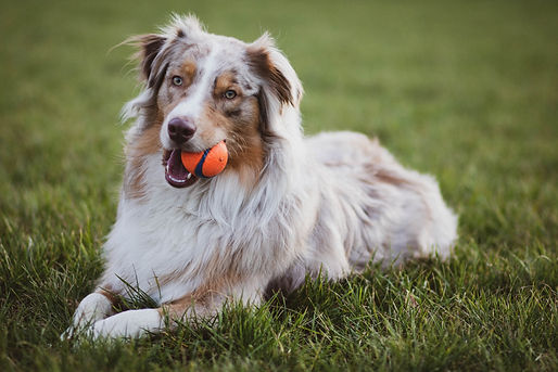 picture-of-an-australian-collie-dog-2326
