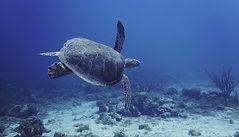 Turtle aruba.jpg
