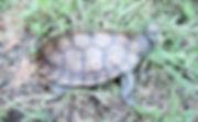Aldabra Tortoise Xiao Hei 02.JPG