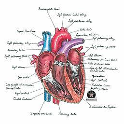 healthy heart L.jpg