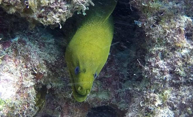 Green Morey Eel