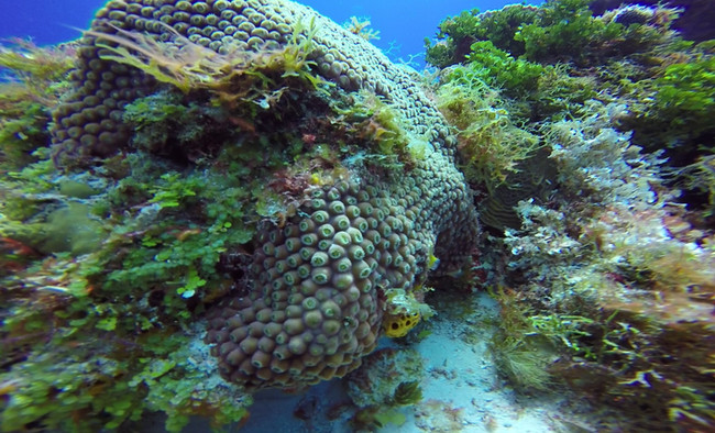 Smooth Star Stony Coral