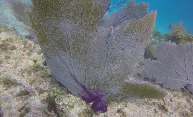 Common Sea Fan  Coral